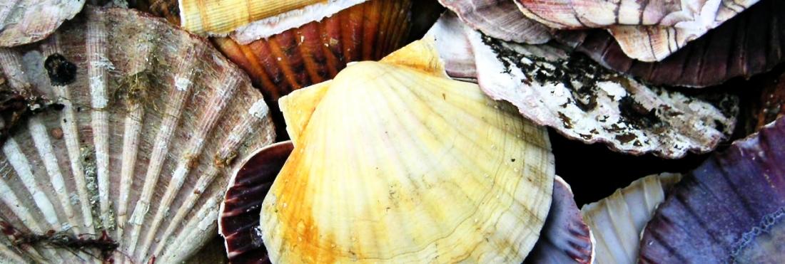 Circular Economy – Scallop Shell Waste